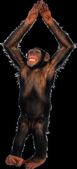 Monkey PNG   Transparent images   Pinterest   Monkey and Animal