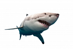 Shark Swimming PNG Image - PurePNG | Free transparent CC0 PNG Image ...