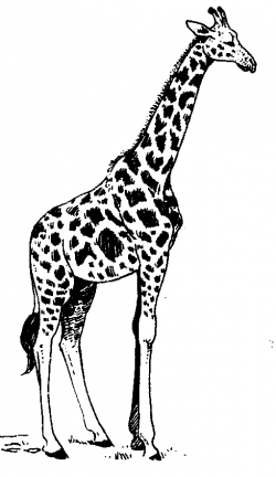 Giraffe line drawing free download clip art on - WikiClipArt