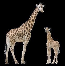 RS3D_giraffes_masked copy.png | nature | Pinterest | Giraffe and Animal