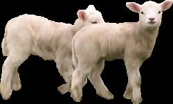 Angora goat-vector. Sketch vector of angora goat on white background.