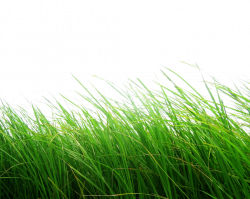 Green Grass Four | Isolated Stock Photo by noBACKS.com