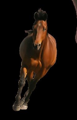 Horse Front transparent PNG - StickPNG