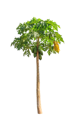 Green papaya salad Cantaloupe Clip art - Green papaya tree 625*1000 ...