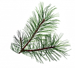 28+ Collection of Pine Tree Branch Clipart | High quality, free ...