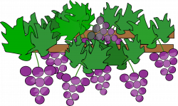 Clipart - Grapes Growing for Wine