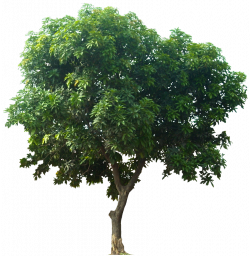 Tropical Plant Pictures: Evergreen trees   Maisemia taloja puita ...