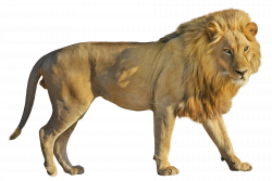 Lion PNG Image - PurePNG | Free transparent CC0 PNG Image Library