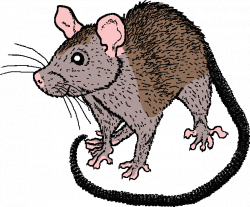 Appearance of ship rat