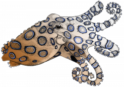 Blue Ringed Octopus | Feral Beagle