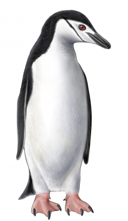 Chinstrap penguin clipart - Clip Art Library
