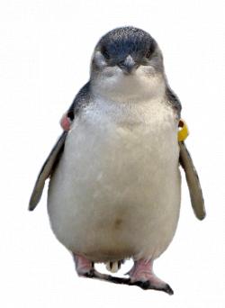 Fairy Penguin, Little Penguin Clip Art, Large Animated Gifs ...