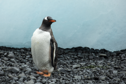 Gentoo penguin - Wikipedia
