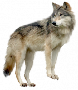 wolf png image, picture, download | SB - L | Pinterest | Wolf and Animal