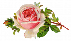 Free Vintage Rose Clip Art - Free Pretty Things For You