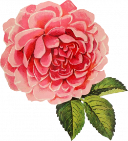 Free Graphic Friday - Vintage Cabbage Rose - Avalon Rose Design