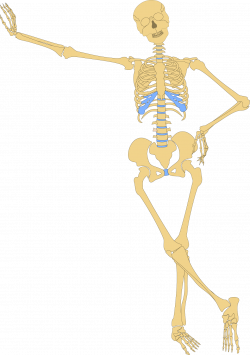 Human skeleton Bone Skull Clip art - Medical human skeleton 1210 ...