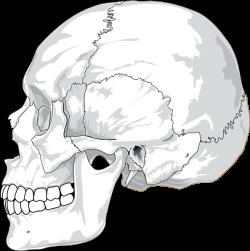 Human Skull Side View Clip Art at Clker.com - vector clip art online ...