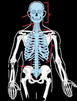 Axial skeleton - Wikipedia