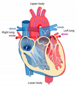 Great Images Of The Heart 11 About Remodel show human anatomy with ...
