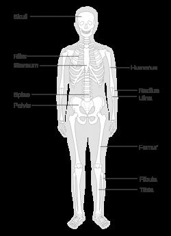 Fancy Human Skeleton Diagram Unlabeled Embellishment - Anatomy And ...