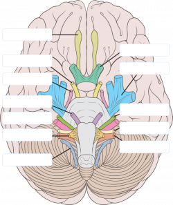 Learning The 12 Cranial Nerves | Cranial nerve Picture Gallery ...