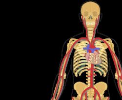Major Systemic Arteries
