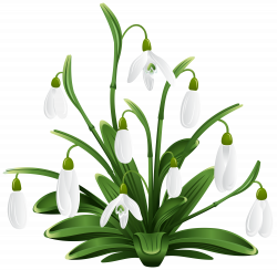 Snowdrops Transparent Png Clip Art Image Free Download   Flori mici ...