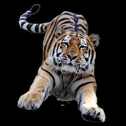 Jumping Tiger transparent PNG - StickPNG