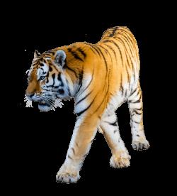 Tiger Walking transparent PNG - StickPNG
