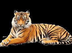 Tiger PNG Images Transparent Free Download | PNGMart.com