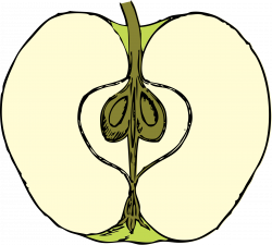 Clipart - apple in cross section - color
