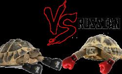 How to Bathe a Russian Tortoise -
