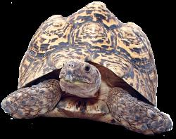 Leopard Tortoise | Reptiles Alive