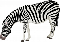 Zebra PNG Transparent Free Images | PNG Only
