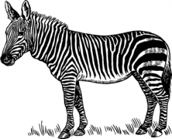 Zebra - Definition for English-Language Learners from ...