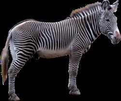 Zebra PNG images free download
