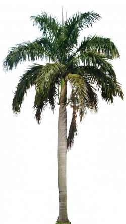 Clipart Palm Tree PNG File - 10742 - TransparentPNG