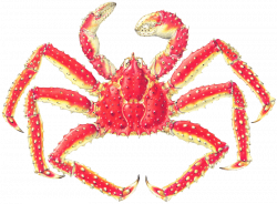 King Crab Drawing at GetDrawings.com | Free for personal use King ...