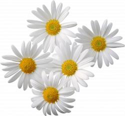 Camomiles PNG image, free flower picture   Yeni Sekme   Pinterest ...