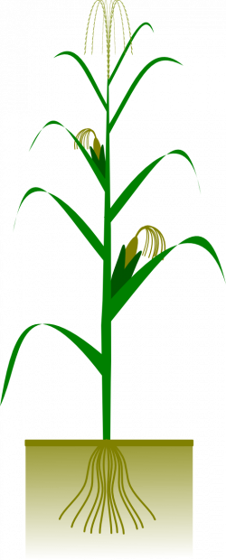 Maize Plant Clipart | i2Clipart - Royalty Free Public Domain Clipart