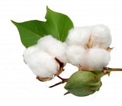 Cotton PNG Background Clipart | PNG Names