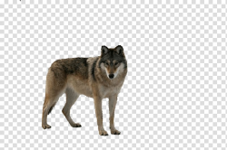 Wolfdog Coyote Fur Snout, Wolf transparent background PNG ...