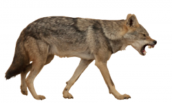 Wolf Cartoon clipart - Wolf, Wildlife, transparent clip art