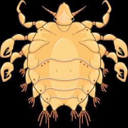 Phtirus inguinalis (Morpion) - Servier Medical Art - 3000 free ...
