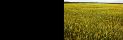 grain3.png?crc=433020549