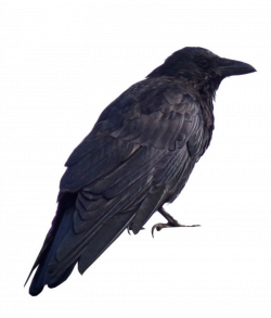 Crow PNG.. by Alz-Stock-and-Art   Images to learn by   Pinterest   Crows