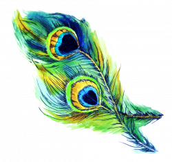 peacock feather feathers bird blue scpeacock scnature ...