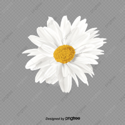 Daisies, Product Kind, Daisy, Flowers PNG Transparent ...