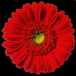 Bright Red Gerbera Daisy by jeanicebartzen27 on DeviantArt